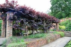 Covered walkway with Cercis canadensis 'Forest Pansy' at Spetchley