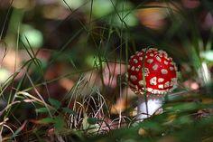 muhomor  ( iconic Russian mushroom, poisonous btw )