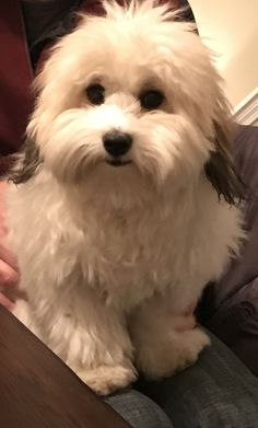 Griffin the Coton de Tulear!
