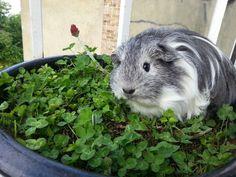 """Aariya the guinea pig loves her clover"""