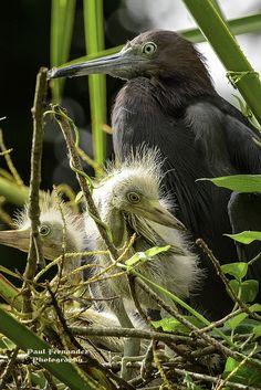 Little Blue Heron Family