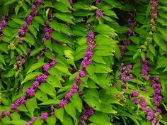 Callicarpa dichotoma are appropriately known as beauty berries. Pictured here in the Ripley Garden.
