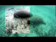 A short clip where a selection has been cleared with Lyynifier for iPAD. Underwater Video, Manatee, Ipad, Youtube, Manatees, Youtubers, Youtube Movies