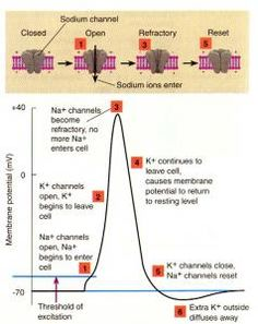 The ans is responsible for the bodys visceral reflexes which are what is the action potential ccuart Gallery