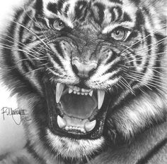 "Artist: Ralph N Murray III; Pencil, 2012, Drawing ""Siberian Tiger Study"""