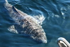512-year-old Greenland shark may be the oldest living vertebrate on Earth