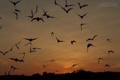 Mexican freetailed bats at dusk, Central Texas; © Jeff Parker / ExploreinFocus.com