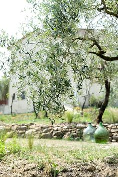 1000 Images About Sweet Olive Grove On Pinterest Olive Tree Olives And Tuscany