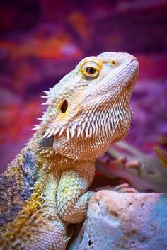 This post is about one of the most popular lizards in the pet trade – the bearded dragon. But while it is one of the most rewarding lizards you can keep as a pet, it is also one of the most sensitive. Les Reptiles, Cute Reptiles, Reptiles And Amphibians, Mammals, Nature Animals, Animals And Pets, Cute Animals, Beautiful Creatures, Animals Beautiful