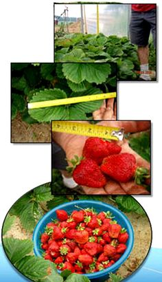 Strawberries that grew and grew with structured water!
