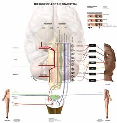 Reflex arc description and short self quiz anatomy physiology reflex arc description and short self quiz anatomy physiology diagrams pinterest ccuart Choice Image