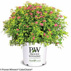 Double Play Gold Spirea from Proven Winners is a compact, low mounded plant with vibrant golden foliage and an abundance of pure pink summer flowers. This deer-resistant shrub adds easy, season-long color Modern Landscaping, Landscaping Plants, Outdoor Landscaping, Front Yard Landscaping, Landscaping Ideas, Bright Flowers, Summer Flowers, Pink Flowers, Pink Summer