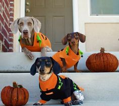 Dogs dressed up for Halloween!  So funny!