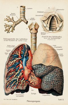 Antique anatomy print, lungs and heart, 1911.