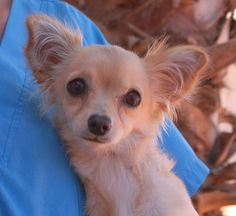 Cece, a precious junior puppy, likes to be held and snuggled by gentle people.  She is a petite Longhair Chihuahua mix, likely blended with other Toy breeds, 7 months of age, now spayed and debuting for adoption today at Nevada SPCA (www.nevadaspca.org).  Cece likes other dogs.  She needed us due to her previous owner's financial hardship.