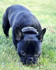 I WANT a black, brindle or tan French Bulldog - someone go tell my husband cuz I'm not so sure he's getting the hint.