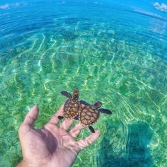 Are you thinking of buying a tortoise to keep? If so there are some important things to consider. Tortoise pet care takes some planning if you want to be. Baby Sea Turtles, Cute Turtles, Cute Baby Animals, Animals And Pets, Beautiful Creatures, Animals Beautiful, Pictures Of Turtles, Turtle Love, Turtle Beach