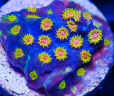 My Reef to Yours - Live Coral Frags Coral Frags, Live Coral, Aquarium, Goldfish Bowl, Aquarium Fish Tank, Aquarius, Fish Tank