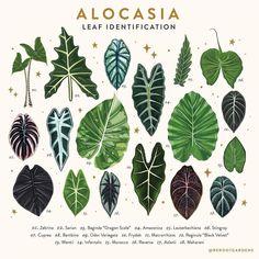 Garden Plants, Indoor Plants, House Plants, Alocasia Plant, Leaf Identification, Cactus E Suculentas, All About Plants, Pot Jardin, Decoration Plante