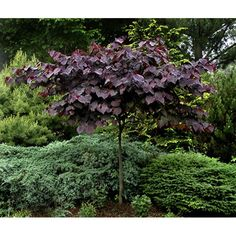 cercis forest pansy (Purple Leaf Redbud) -- http://www.johnstowngardencentre.ie/product_images/cercis_forest_pansy_L.jpg