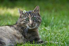 Himalayan Tabby Cats | 4cat 0.0 .....listro (≡・x ...