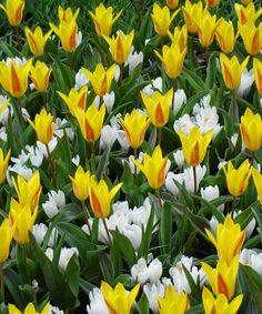 """Krokusy """"Jeanne"""" a tulipány """"Guiseppe Verdi""""   Kolekce pro společnou výsadbu. Tyto cibuloviny se velice efektivně na zvolených stanovištích doplňují a vytvářejí zářivé plochy.  Stanoviště: plné slunce - polostín.  Najdete v naší online nabídce:  http://www.starkl.com/view/p-1281/Podrobnosti-o-sortimentu/Krokusy-Tulipany-Krokusy-%C2%B4Jeanne%C2%B4a-tulipany-%C2%B4Guiseppe-Verdi%C2%B4/?selected_shop_item=default_rest_id9079_021980"""