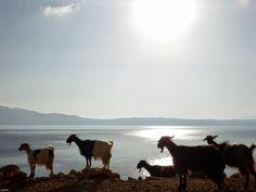 Balos and goats :-), Crete Crete, Goats, Camel, Bali, Animals, Animales, Animaux, Animal Memes, Animal