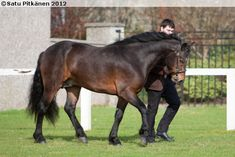 Connemara stallion Darraheen Fionn