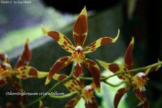 Odontoglossum cristatellum