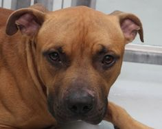 *DUDLEE-ID#A675789    Shelter staff named me DUDLEE.    I am a male, brown Pit Bull Terrier.    The shelter staff think I am about 2 years old.    I have been at the shelter since Oct 01, 2012.