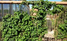 Image result for trellis for climbing fig