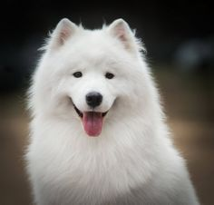 samoyed so pretty Besides being gorgeous, Samoyeds are always smiling. Husky, Samoyed Dogs, White Dogs, Cute Creatures, Dogs Of The World, Pet Accessories, Animals And Pets, Baby Animals, Mans Best Friend