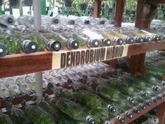 Bottle Dendrobium Hybrid