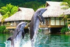 At Venture Tahiti, we focus exclusively on travel to the magnificent islands of Tahiti, Bora Bora, Moorea, and French Polynesia. Bora Bora, Beautiful Creatures, Animals Beautiful, Adorable Animals, Tahiti Vacations, Tahiti Resorts, Dream Vacations, Dolphin Facts, Tahiti Islands