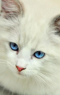White Kitty with Stunning Blue Eyes
