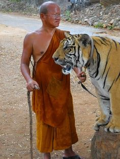Tiger Sanctuary at the Buddhist Monastery in Kanchanaburi, Thailand.  Photo:  Lachlan Ainsworth