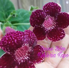 MY KOHLERIA Raspberry, Fruit, Wonderful Flowers, Gardens, Plant, Raspberries
