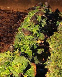 ヒヨちゃん大食堂。 今朝のメニューは トウの立ったブロッコリー。   #bird #鳥 #vegetable #野菜