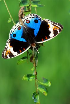 ~Blue wing butterfly~  #black/white/bluebutterflies