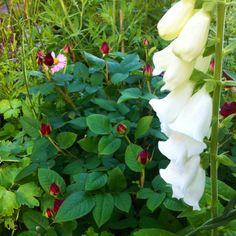 White foxglove and Munstead Wood (David Austin) rose
