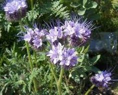 phacelia and cover cropping