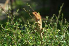 Michelle Meenawong Photograph - Oriental Garden Lizard by Michelle Meenawong