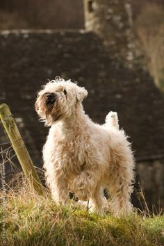Soft Coated Wheaten Terrier <3 I have two and they are my all time favorite pups!
