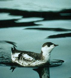 Marbled Murrelet (Brachyramphus marmoratus) - Длинноклювый пыжик. This is a typical plumage of an adult bird in the fall of the year--say September. Wikimedia. Источник: U.S. Fish and Wildlife Service. Автор: Vliet, Gus Van.  File:WO 2087 Marbled Murrelet.jpg