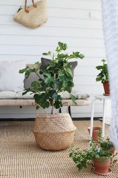 TERASSILLA Ficus, Villa, Lifestyle, Flowers, Green, House, Outdoor, Home Decor, Outdoors