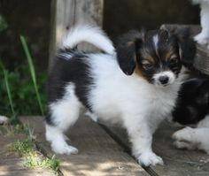 Phalene puppy | One of the most well-known belief states that the Phalene began in France, Belgium and also Spain.
