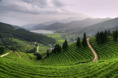 beautiful Boseong Green Tea fields in South Korea - i love how the hills go on forever