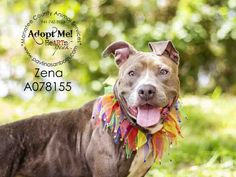 ZENA - URGENT - located at Manatee County Animal Services in Palmetto, Florida - ADOPT OR FOSTER - Spayed Female Blue Pit Bull Terrier Mix - at shelter since April 28, 2016 - She is such a pretty girl and a total sweetheart! She adores time with you and just cuddling. Very treat motivated and loves to learn!! She knows sit, down, come and spin! She is working on some tricks!! She adores her walks and walks very well. She enjoys love and attention because she is a huge love bug!!