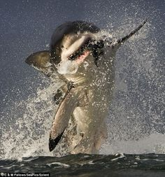 Wildlife photographer Chris Fallows took this picture of a great white shark breaching to attack a dummy seal off the coast of Seal Island in False Bay, South Africa Picture: C & M Fallows/SeaPics/Solent Shark Pictures, Shark Photos, The Great White, Great White Shark, Shark Week, Beautiful Sea Creatures, Shark Bait, Deep Blue Sea, Ocean Life