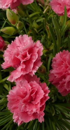 Rose Pink Carnations - My very favorite flower All Flowers, Exotic Flowers, Amazing Flowers, My Flower, Beautiful Flowers, Birth Flowers, Dame Nature, Pink Carnations, Gerbera